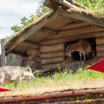 Goats on Roofs in Coombs